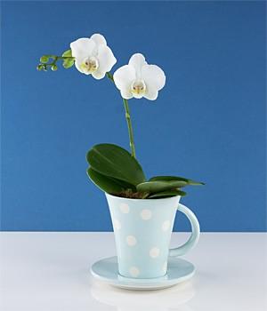 phalaenopsis orchid care instructions australia