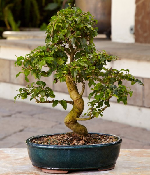chinese ligustrum bonsai and other flowers plants at. Black Bedroom Furniture Sets. Home Design Ideas