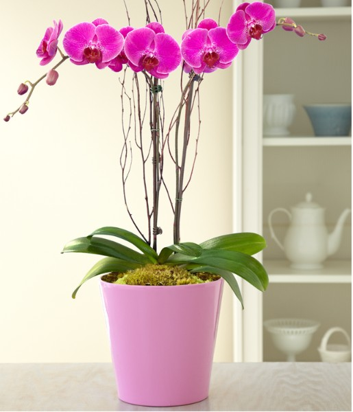 Potted double stem purple orchid and other flowers plants at - How to care for potted orchids ...